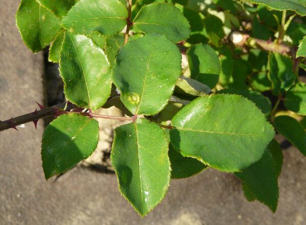 Rosa 'Emily ®'