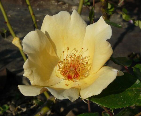 Rosa 'Mrs. Oakley Fisher'