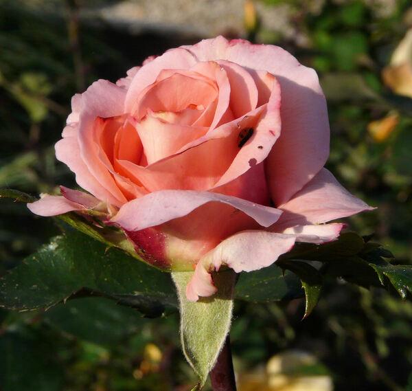 Rosa 'Alois Jirásek'