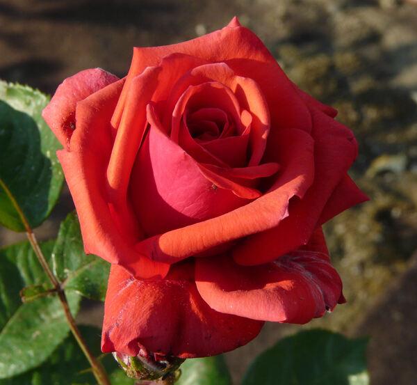 Rosa 'Baccará ®'