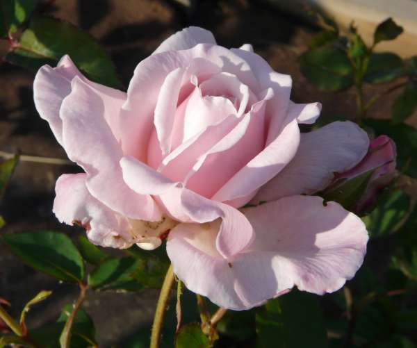 Rosa 'Louise Pernot'