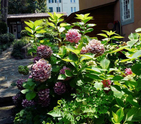 Hydrangea macrophylla (Thunb.) Ser. 'Bouquet Rose'
