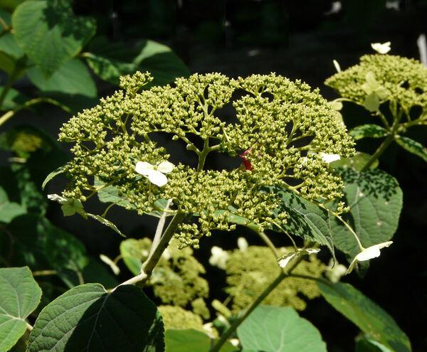 Hydrangea arborescens L. subsp. radiata (Walter) E.M. McClint.