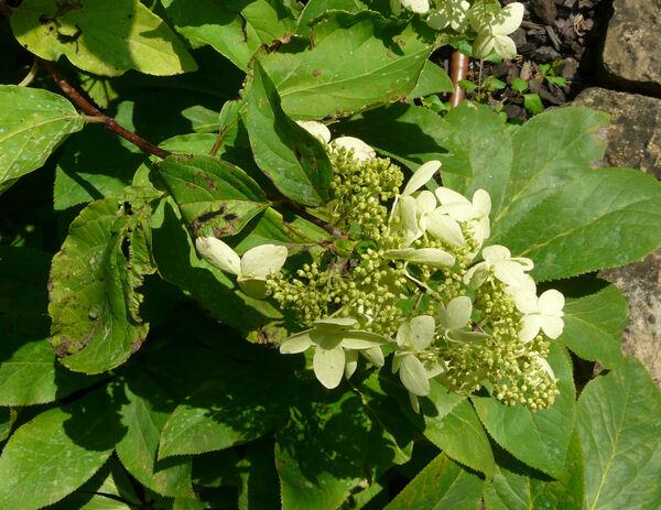 Hydrangea paniculata Siebold 'Praecox'