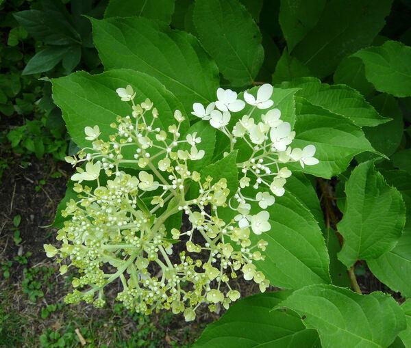 Hydrangea paniculata Siebold 'Phantom'