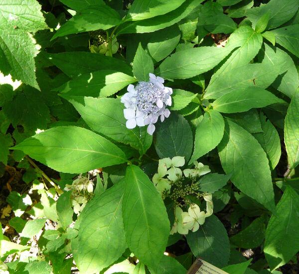 Hydrangea macrophylla (Thunb.) Ser. 'Blue Deckle'