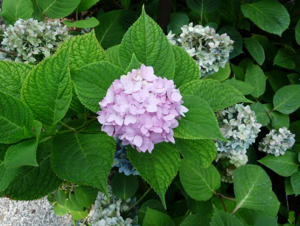 Hydrangea macrophylla (Thunb.) Ser. 'Endless Summer'