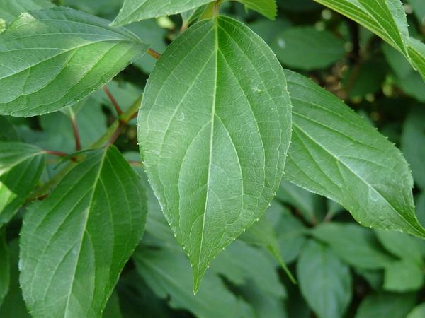Hydrangea paniculata Siebold 'Kyushu'