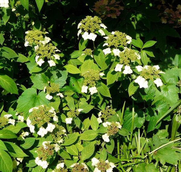 Hydrangea serrata (Thunb.) Ser. 'Shiro Gaku'