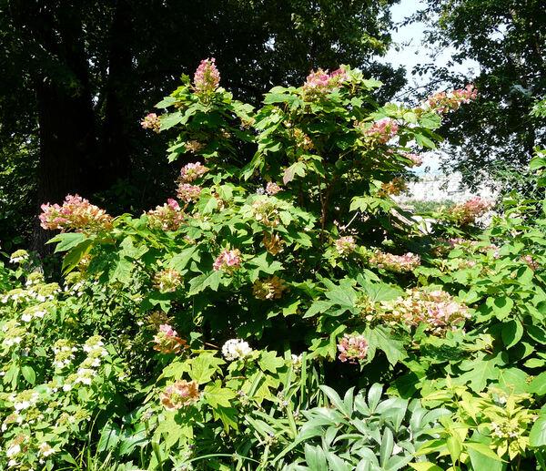 Hydrangea quercifolia Bartr. 'Alice'