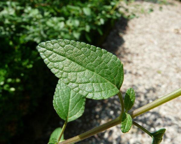 Salvia microphylla Kunth