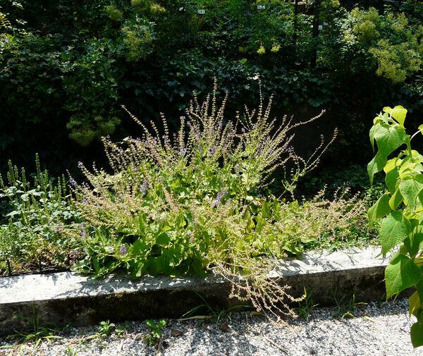 Salvia cadmica Boiss.