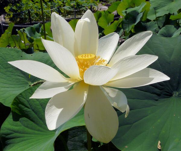 Nelumbo lutea Willd.