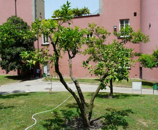 Citrus x aurantium L. 'Neapolitana'