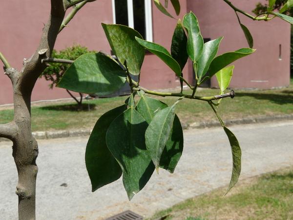 Citrus x aurantium L. 'Virgatum'