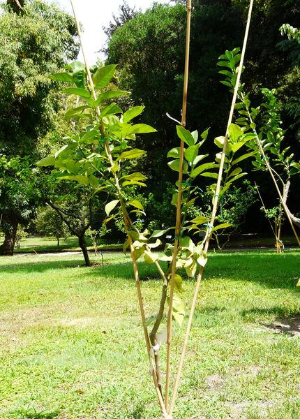 Citrus x paradisi MacFayden 'Minor'