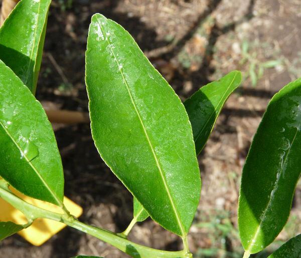 Citrus x tangerina Tanaka 'Parson's Special'
