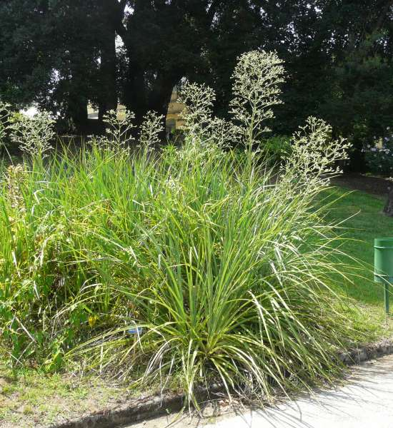 Eryngium pandanifolium Cham. & Schltdl.