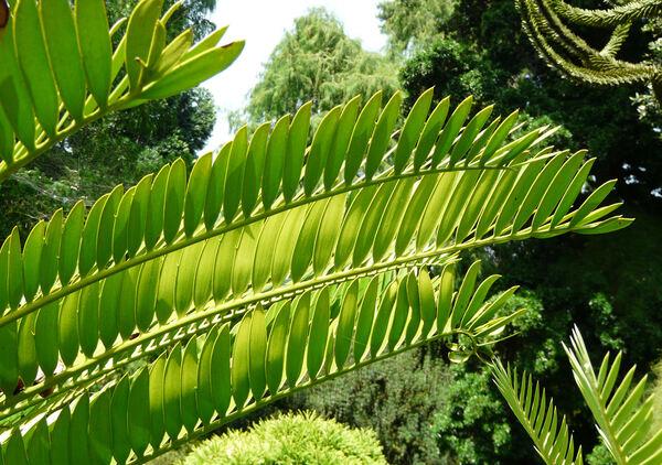 Encephalartos altensteinii Lehm.