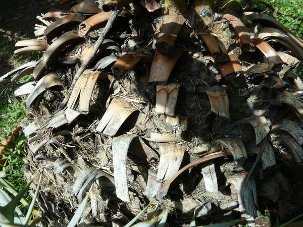 Encephalartos horridus (Jacq.) Lehm.