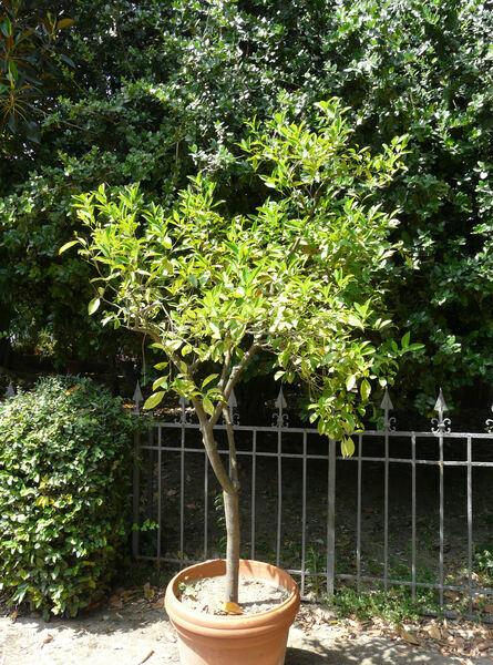 Citrus reticulata Blanco 'Pectinata'