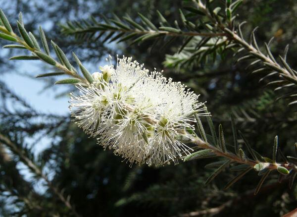Melaleuca decussata R. Br.