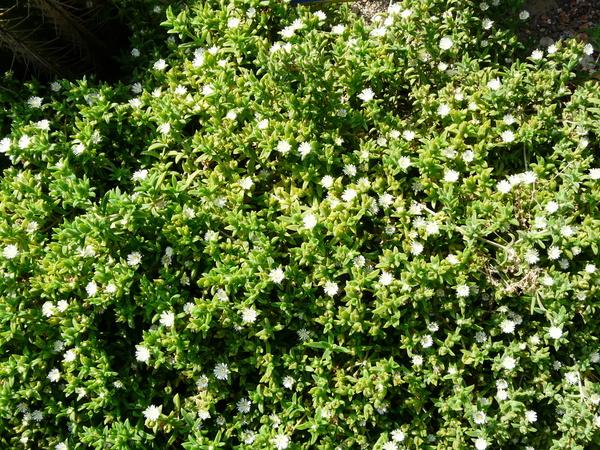 Malephora crocea (Jacq.) Schwantes