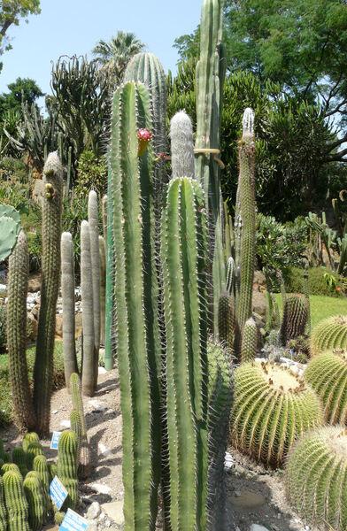 Neobuxbaumia euphorbioides (Haw.) Buxb. ex Bravo