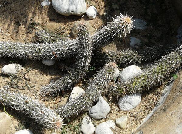 Stenocereus eruca (Brandg.) Gibson & Horak
