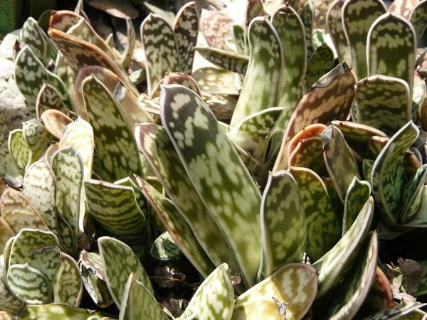 Gasteria bicolor Haw.