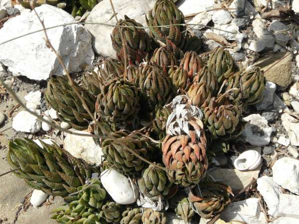 Haworthia fasciata (Willd.) Haw. f. browniana (Poelln.) M.B. Bayer