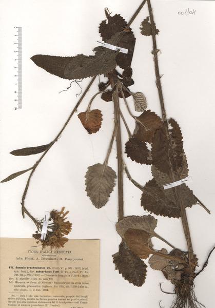 Tephroseris italica Holub