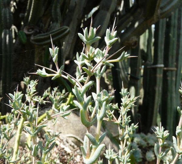Eberlanzia spinosa Schwantes
