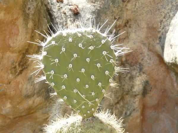 Opuntia galapageia Hensl.