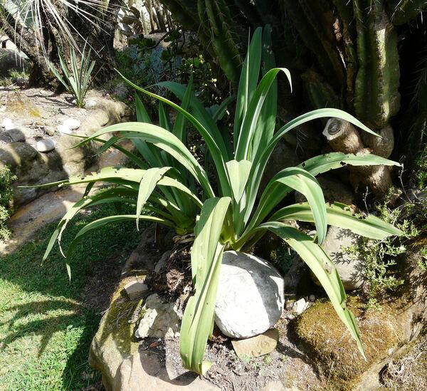 Beschorneria yuccoides K. Koch