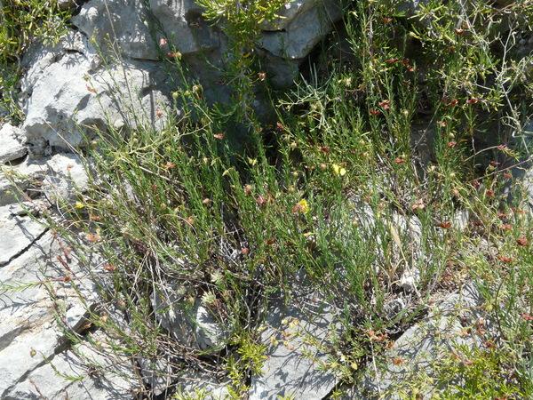 Fumana ericifolia Wallr.