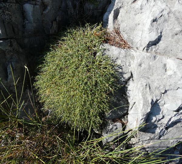 Euphorbia squamigera Loisel.