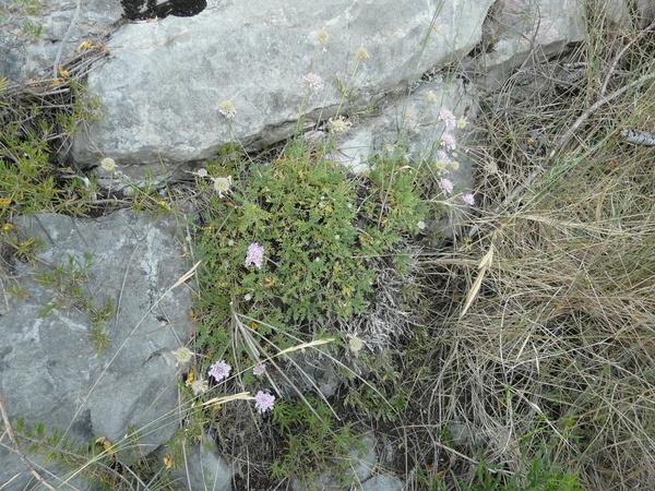 Lomelosia crenata (Cirillo) Greuter & Burdet subsp. crenata